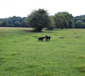 Dogs playing in field