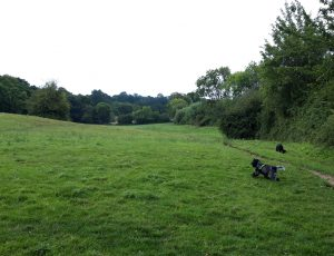 Dogs walking through field