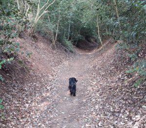 Dog walking up woodland path