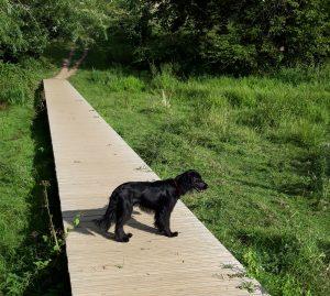 Dog on boardwalk