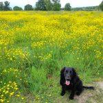dog in buttercup field