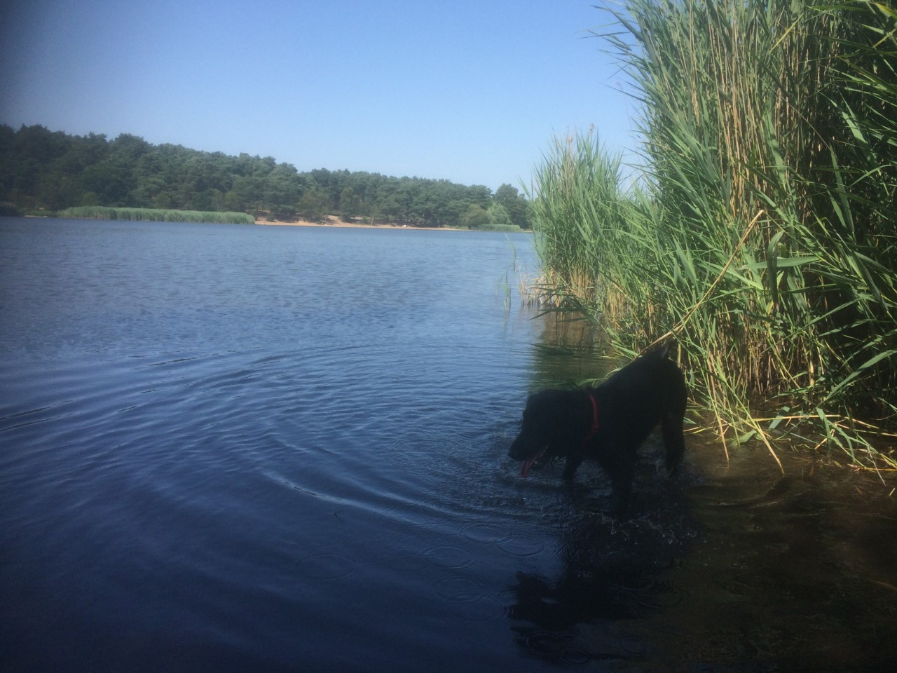 Dog in Frensham Little Pond