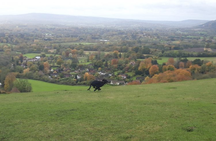 Dog galloping on Reigate Hill