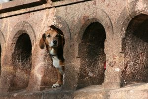 Dog looking out of a castle wall